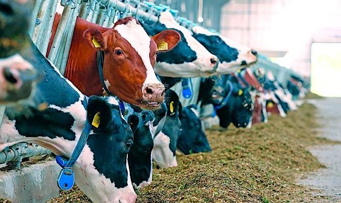 Вгосударстве Украина уменьшается поголовье крупного рогатого скота