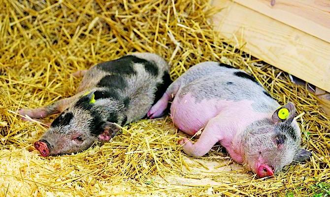 ВОдесской области продолжает распространяться африканская чума свиней