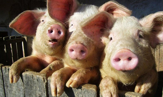 Румыния запретила импорт свинины изОдесской области из-за вспышки АЧС