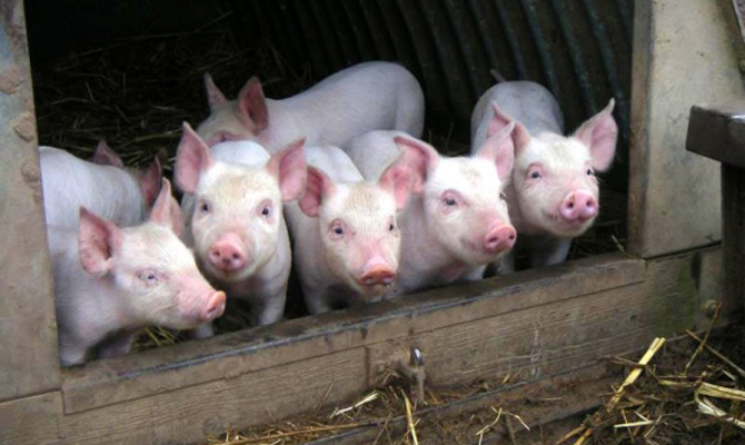 ВПолтавской области зафиксировали новый случай чумы свиней