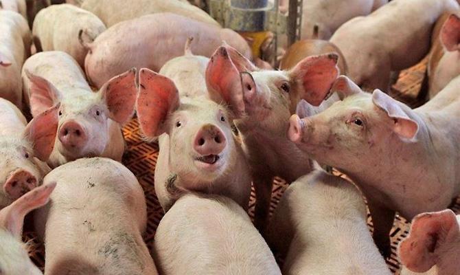 Экспорт свинины изУкраины сократился в20 раз