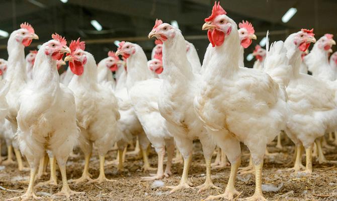 Украина запретила ввоз птицы изЛюбушского воеводства Польши