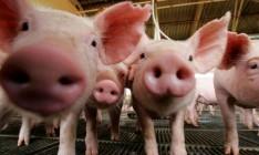На Луганщине зафиксировали новую вспышку чумы свиней
