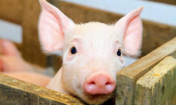 """Результат пошуку зображень за запитом """"сократилось поголовье свиней"""""""