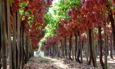 Урожайность винограда выросла втрое, - Минагрополитики