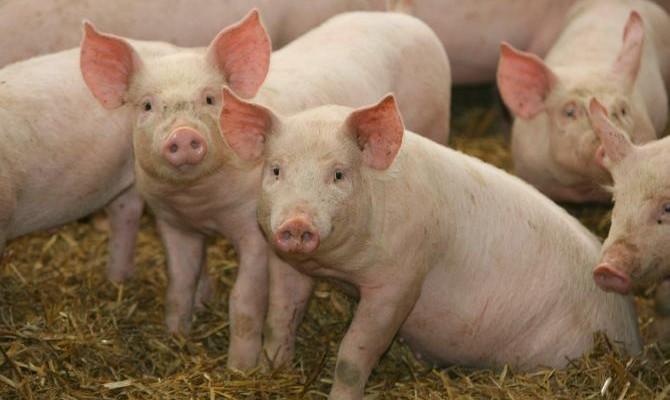 Экспорт свинины вырос в2,5 раза