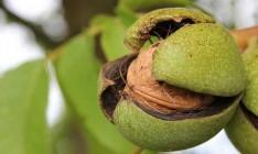 Ахметов и Новинский займутся выращиванием ореховых садов