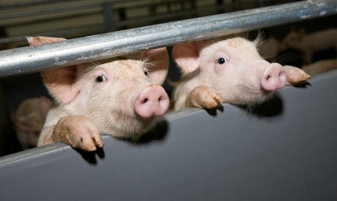 ВКрасноармейском районе выявлен очаг африканской чумы свиней