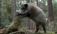 Фермеры Германии требуют уничтожить 70% диких кабанов из-за АЧС