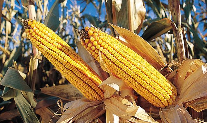 Китайские трейдеры решили покупать кукурузу вгосударстве Украина вместо США