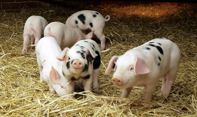 Импорт свинины в Украину вырос в 7,5 раз