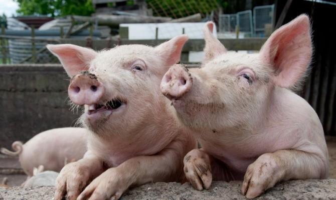 Украина импортирует все больше свинины