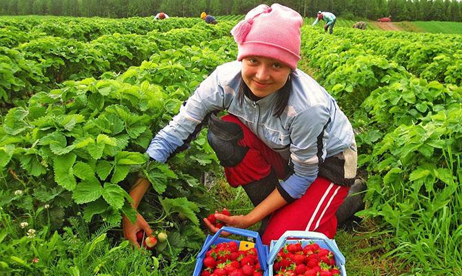 В Польше в прошлом году поймали свыше 13 тысяч нелегально работавших украинцев