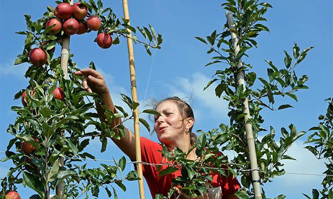 В Украине сильнее всего подорожали яблоки, морковь и гречка