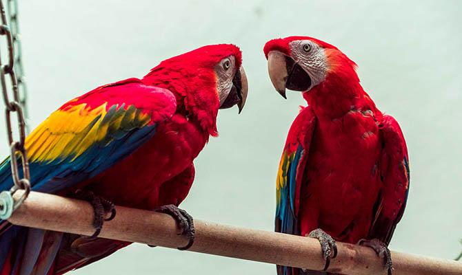 В Аргентине впервые за 100 лет на воле начали размножаться красные ара